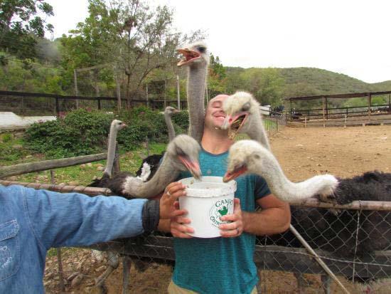 در حال غذا دادن به شترمرغ