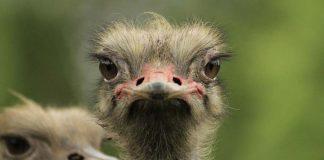 عکس از شترمرغ
