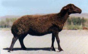 گوسفند-قزل1