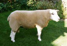 گوسفند1