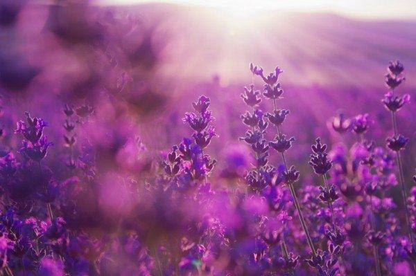 [عکس: lavender-flowers-600x399.jpg]
