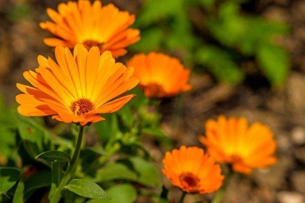 [عکس: pot-marigold-600x399.jpg]