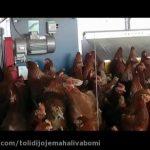 سالن مرغداری مجهز برای تولید تخم مرغ[01-03-25]