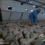 پرورش مرغ گوشتی -تلاش سبز[01-04-03]
