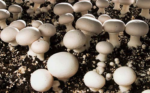 پرورش قارچ دکمه ای 22