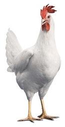 مرغ صنعتی