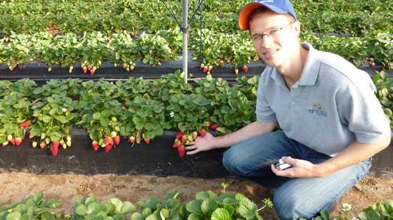 Strawberry-economics