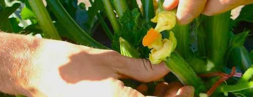 پرورش و کشت خیار گلخانه ای 1