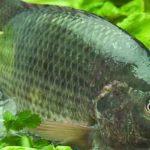 ماهی-تیلا-پیا1