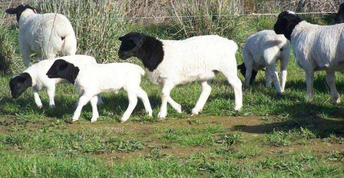 نژاد-گوسفند20