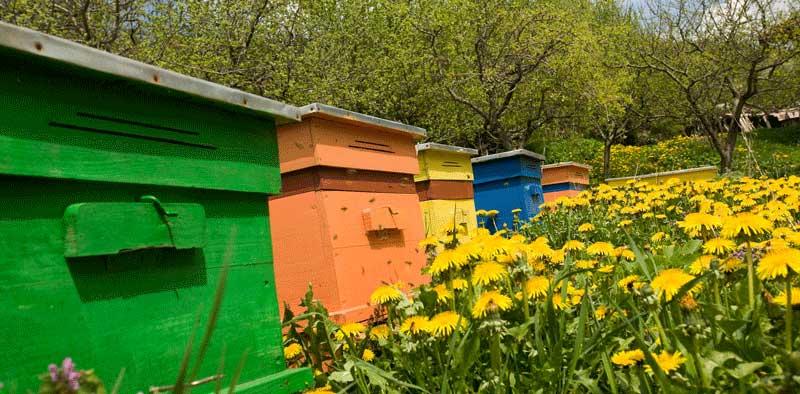 پرورش-زنبور-عسل-در-ایران