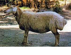 گوسفند-مهربان
