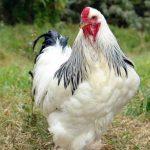 تخم گذار بومی اصلاح شده