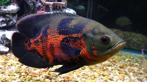 ماهی-اسکار