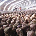 مزرعه-پرورش-قارچ-در-چین