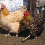 گونه-های-متنوع-مرغ