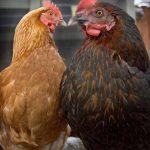 گونه-های-متنوع-مرغ-4