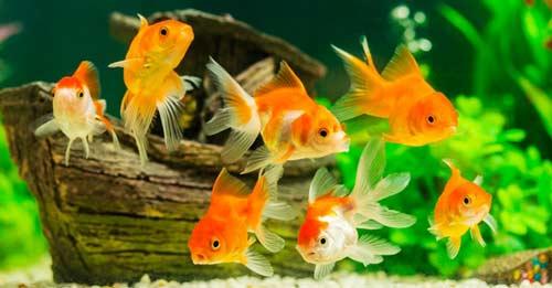 پرورش ماهی زینتی 1