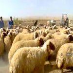 گوسفند سنجابی کرمانشاه]