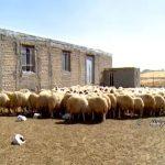 گوسفند سنجابی کرمانشاه3-