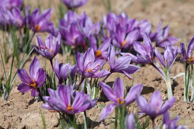 گیاه-زعفران