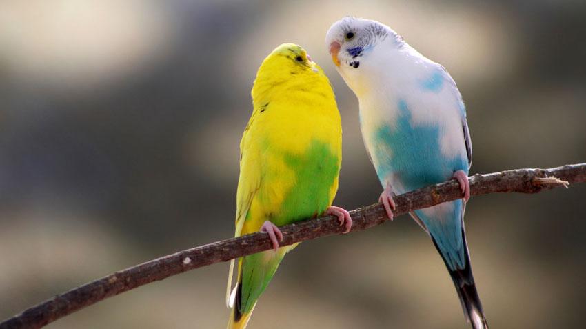Canary_bird850
