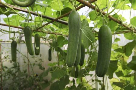 پرورش خیار گلخانه ای 1