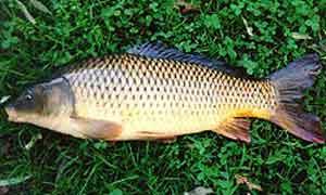 ماهی-کپور-معمولی1