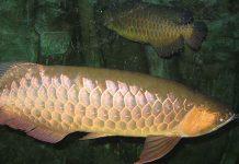 ماهی-کپور-10