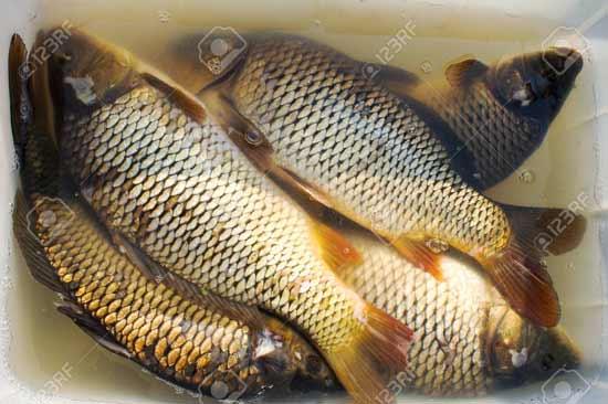 پرورش ماهی کپور 2