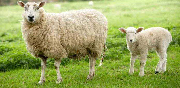 گوسفندان