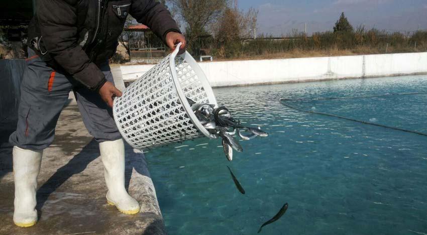 پرورش بچه ماهي
