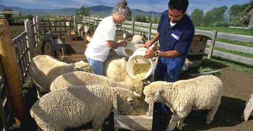 تغذیه-گوسفند1