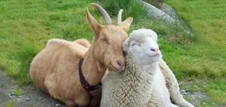 Photo of سود پرورش گوسفند چگونه است و چطور بصورت اصولی شروع کنیم؟