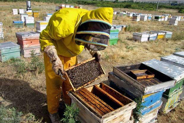 پرورش-زنبور-عسل