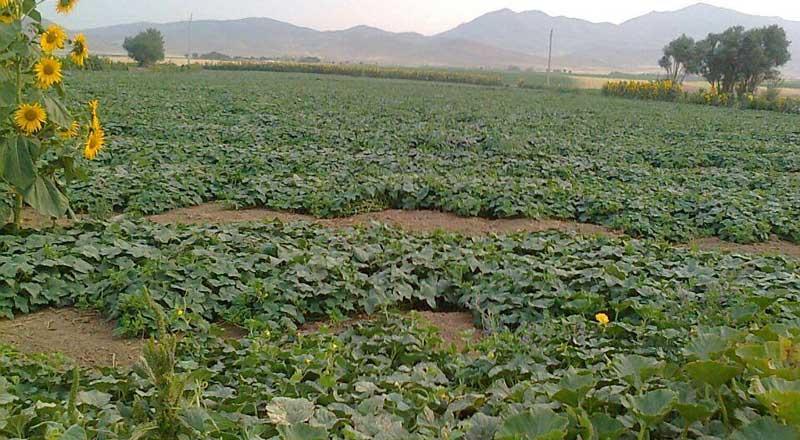 Photo of میزان برداشت خیار گلخانه ای در هر هکتار چقدر است؟