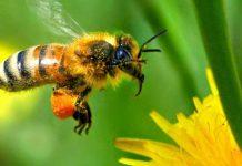 زنبور-عسل1