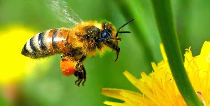 زنبورعسل هنگی بی