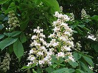 Aesculus hippocastanum (1).jpg