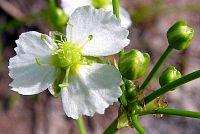 Alisma plantago-aquatica20090812 251.jpg
