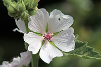 Althaea officinalis Prague 2011 2.jpg