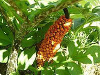 Amorphophallus konjac (fruit) 01.JPG