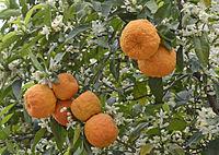 Bitter orange - Citrus aurantium 06.JPG