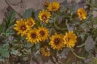 Cluster of Reichardia tingitana flowers in Qatar.jpg