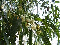 Eucalyptus globulus (15345095225).jpg