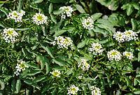 Flowers of Watercress (Nasturtium officinale).jpg