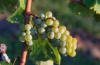 Grape vines 2015 02.jpg