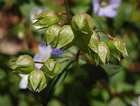 Jacob's Ladder Polemonium reptens Flower Buds 2628px.jpg