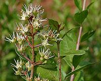 Lawsonia inermis (Mehndi) in Hyderabad, AP W IMG 0524.jpg