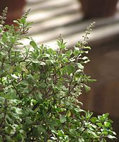 Ocimum tenuiflorum2.jpg